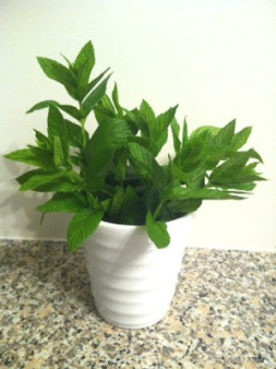 ~ A bundle of fresh mint sits on my kitchen counter. ~