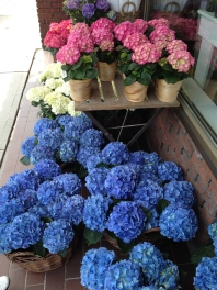 ~ Beautiful hydrangeas ~