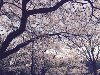 ~ Cherry Blossom ~